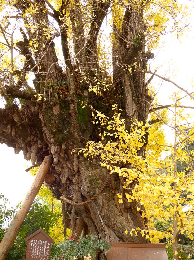御神木の銀杏